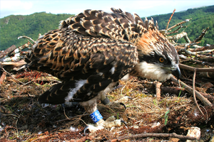Friends of the Ospreys | Cyfeillion Gweilch y Pysgod